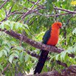 Australie, perroquet