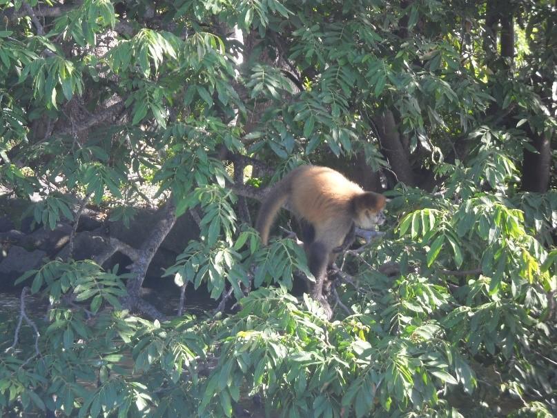 nicaragua-singe-faune-flore